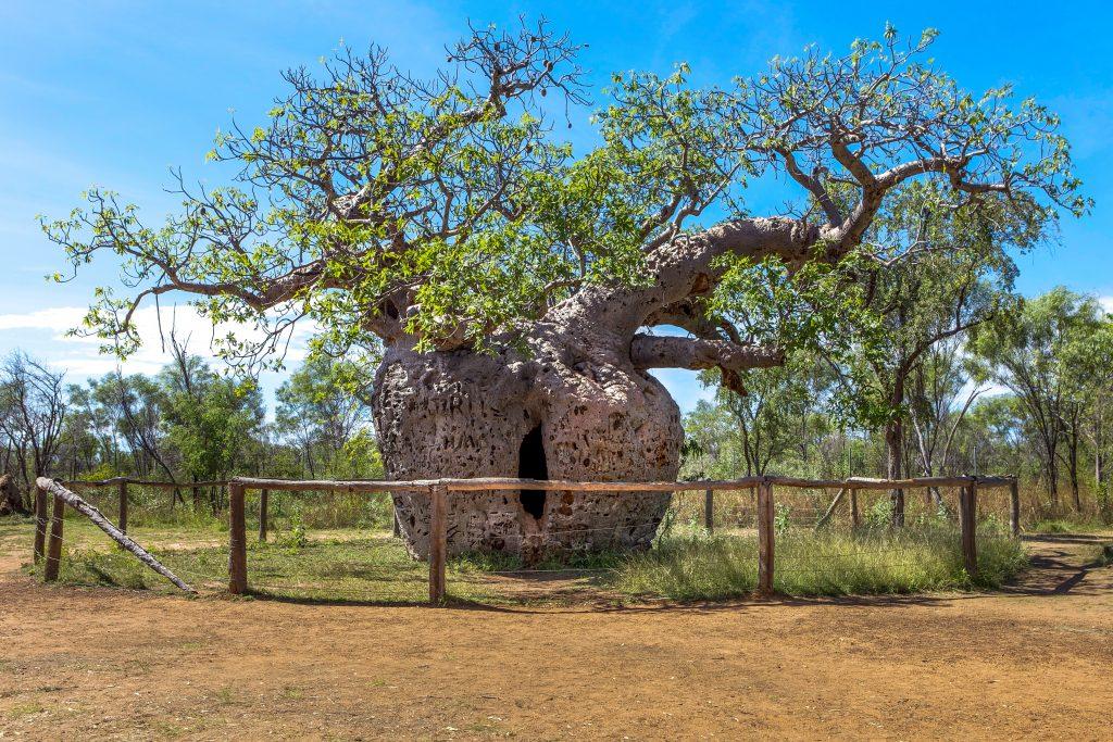 Visita inusual a Australia: Derby y su prisión de baobabs