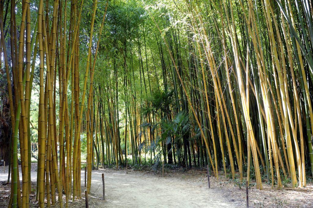 bosque de bambú de las Cevennes