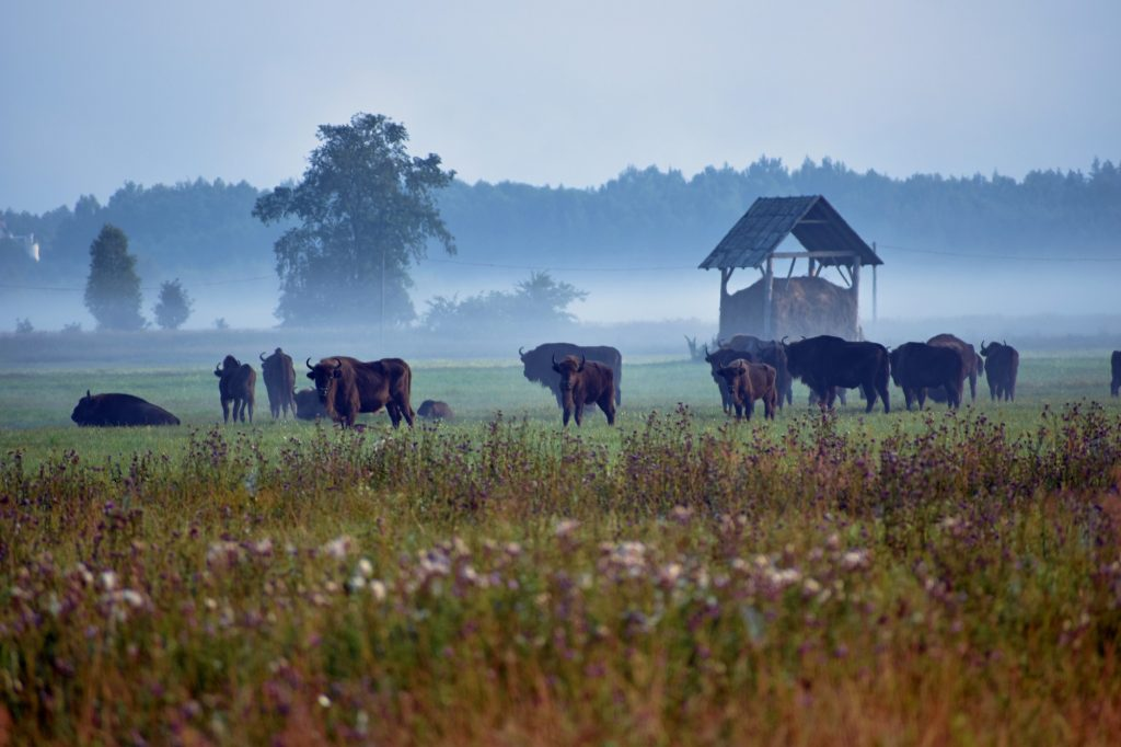 bisonte Bialowieza