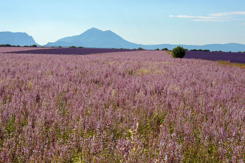 Campos de salvia Valensole Provence