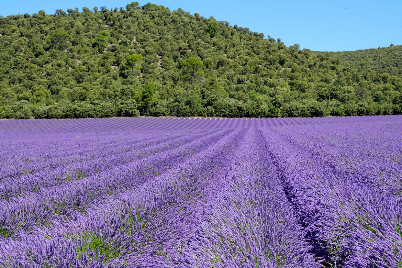 Campos de Lavade Valensole Provence