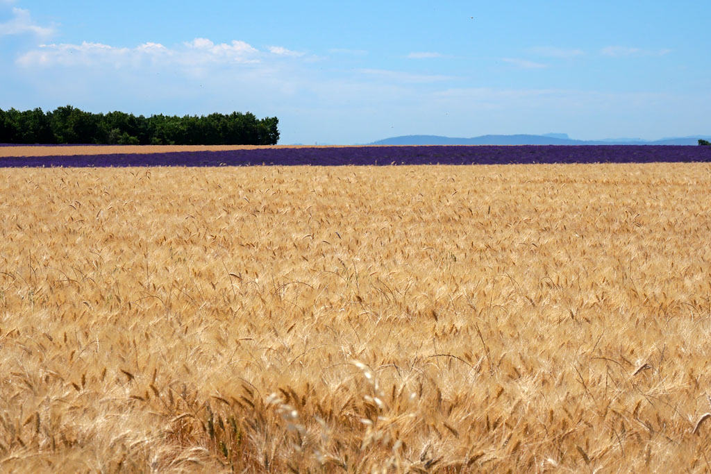 Campos de trigo Valensole Provence