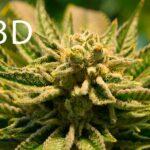 son las flores de cbd la mejor opcion para el uso de cannabidiol