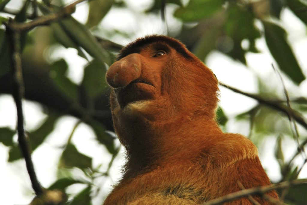 mono nasal animales extraños