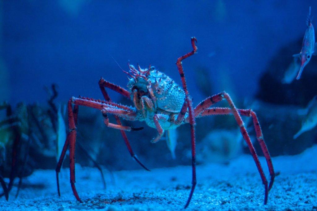 cangrejo araña de Japón