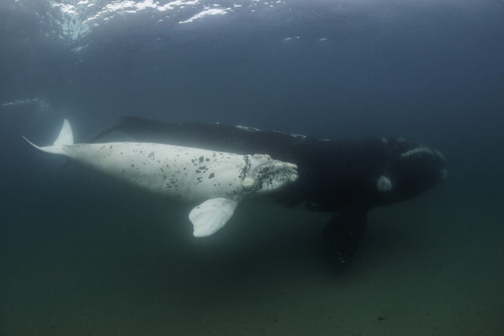 ballena albina