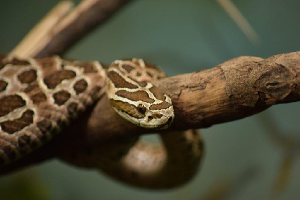 Serpiente brasileña