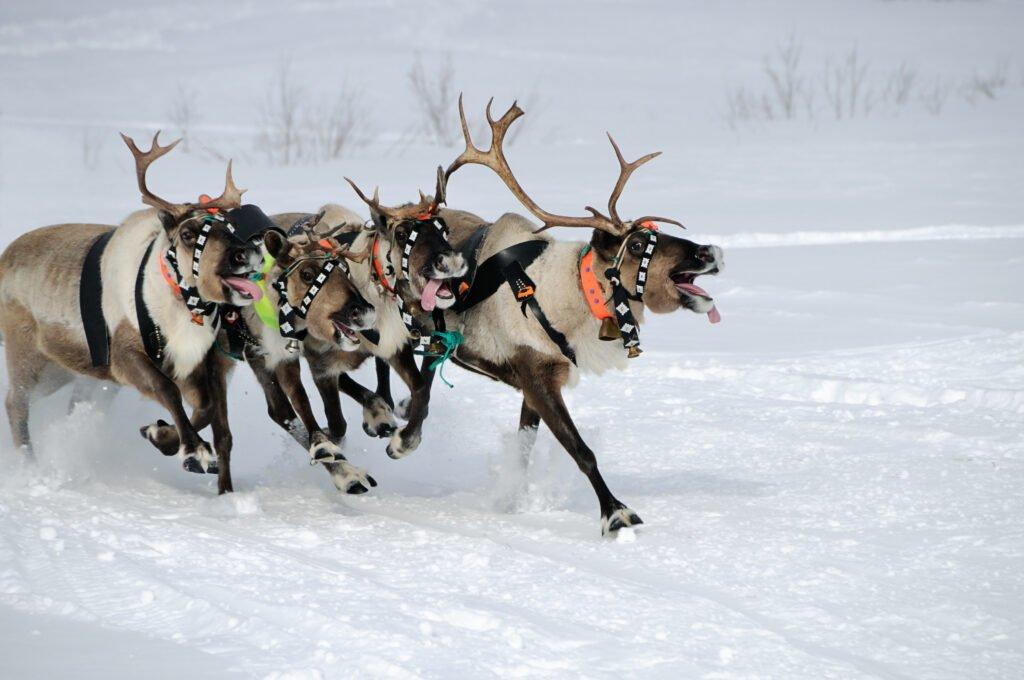 carrera de renos en Finlandia