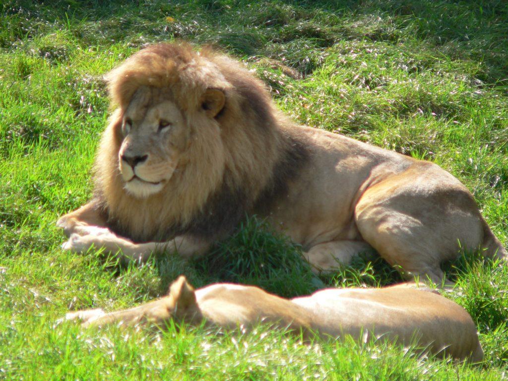 león en CERZA
