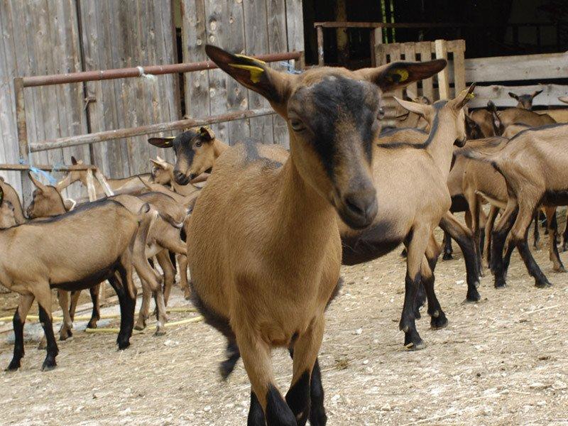 La granja de cabras de Vercors