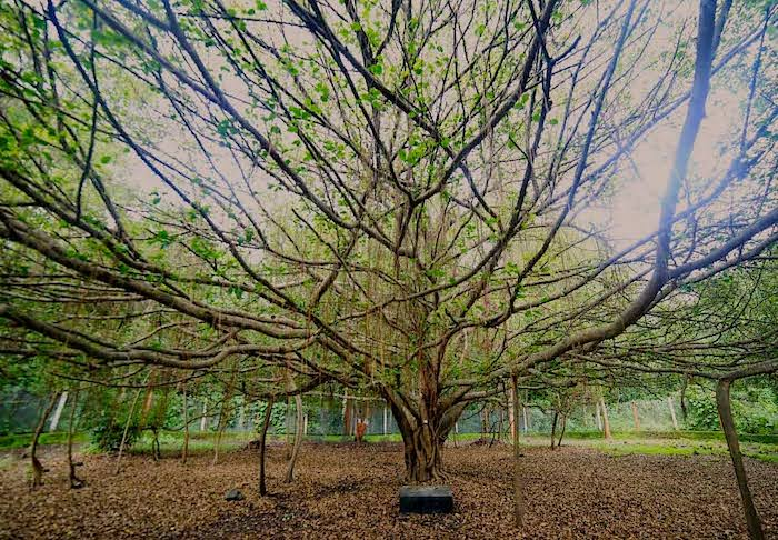 Sacred Ficus Microcarpa tree - Pragvad